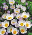 Specie crocus Princess Beatrix